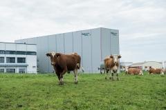 Kühe grasen vor dem Firmengelände